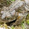 Natterjack Toads on the Solway Coast
