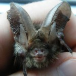 Bat Helpline Cumbria